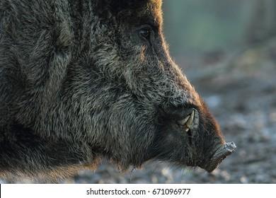 closeup of wild boar head at down ( Sus scrofa )
