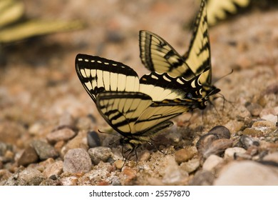 Closeup of Wild Butterflies on Pebbles