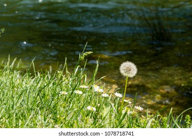 closeup of a wild chamomile plant and dandelion with a small spider on top near the river bank in nature with sunn reflection in the water, river stones on the bottom, late spring sunny day