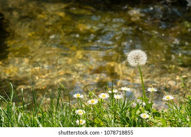 closeup of a wild chamomile plant and dandelion with the seeds ready to be blown away on the river bank in nature with sunn reflection in the water, river stones on the bottom, late spring sunny day
