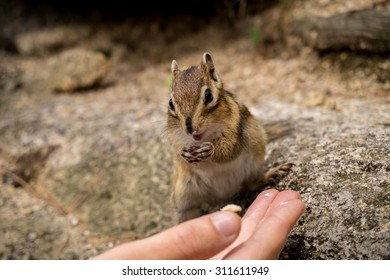 Closeup of a wild chipmunk eating from hands in Seoraksan national park, South Korea