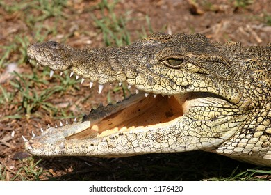 Close-up of a wild Crocodile Head with it's mouth open showing it's teeth.