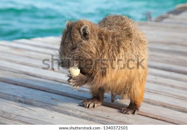 closeup-wild-cuban-hutias-capromyidae-60