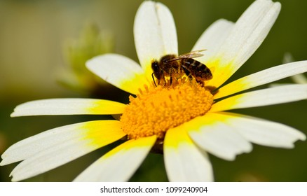 Closeup of wild daisy in full splendor with bee collecting pollen