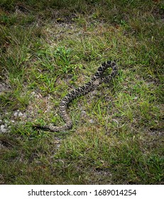 Close-up of a wild Eastern Diamondback Rattlesnake in the Florida Everglades National Park
