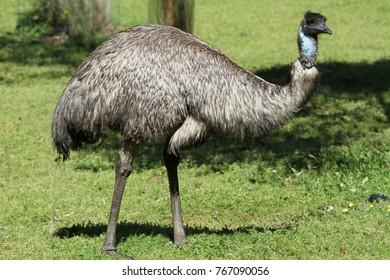 Nahaufnahme von wildem Emul an der Südküste Australiens