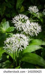 Close-up of wild garlic, June, England