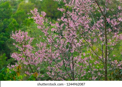 Close-up of Wild Himalayan Cherry in green forest in water color style.