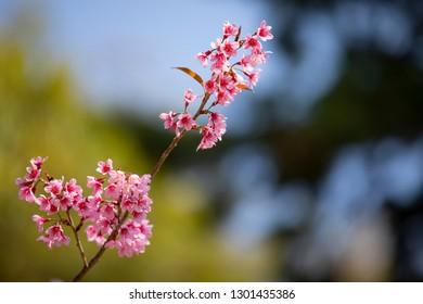Closeup of Wild Himalayan Cherry (Prunus cerasoides)
