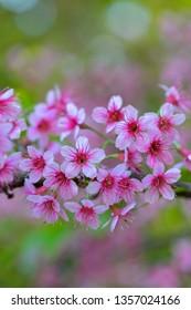 Close-up Wild Himalayan Cherry or Thai Sakura