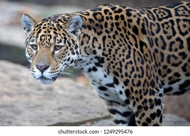 close-up of wild Jaguar standing in nature