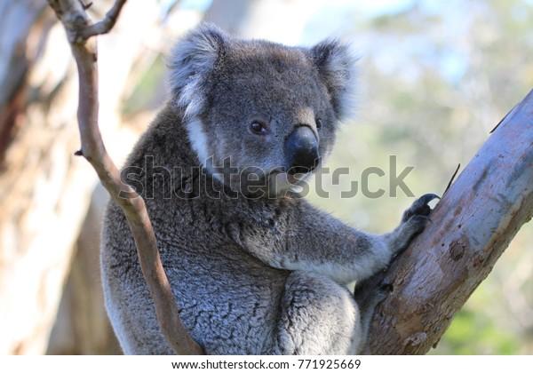 Closeup of wild koala looking into camera