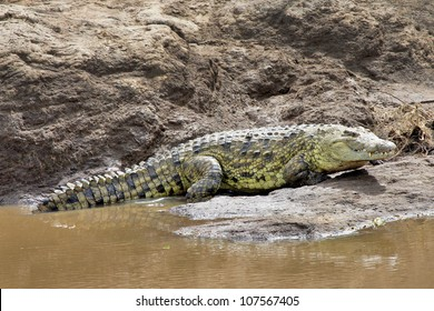 A close-up of a WILD Nile Crocodile or Common Crocodile (Crocodylus niloticus) smiling his toothy grin in the Masai Mara of Kenya, Africa.