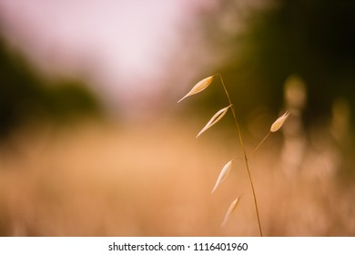 Closeup of a wild oat plant in the field at golden hour