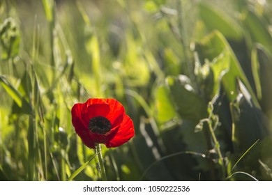 Closeup of Wild Poppy in the field with backlight .Spring \ Summer Grass Bokeh natural background.