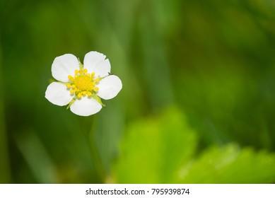 Closeup of wild strawberry flower