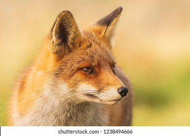 Close-up Wild young red fox (vulpes vulpes) with a tick under the eye