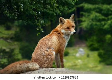 Closeup of a wild young red fox (vulpes vulpes) resting in a forest