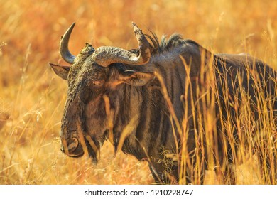 Closeup of Wildebeest, Connochaetes Gnou, standing in the savannah, Pilanesberg National Park, South Africa. Dry season. The Gnu is a genus of antelopes of the family Bovidae. Side view.
