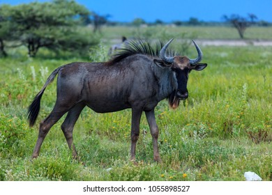 Closeup of wildebeest in open savanah in Africa