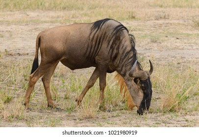 "Closeup of Wildebeest (scientific name: Connochaetes taurinus or ""Nyumbu"" in Swaheli) in the Tarangire National park, Tanzania"