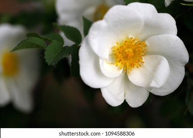 Close-up of wildflower white Rosa rubiginosa (sweet brier eglantine rose) in the spring garden. Photography of nature.
