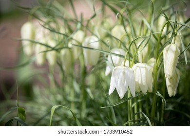 Closeup of Wild-growing foliage plants Fritillaria Meleagris white. Sprouts of wild plants in the garden on a bed in a warm sunny spring day. The variety with white flowers