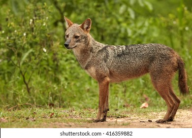 Close-up wildlife photo of Canis aureus indicus, Indian jackal,  predator from canis family, standing on sandy road against green forest in background. Side view. Sri Lanka, Yala national park.