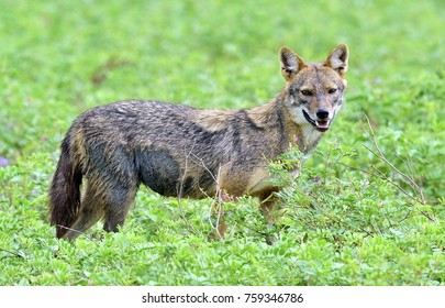 Close-up wildlife photo of Canis aureus, Indian jackal, predator from canis family, standing on green grass against green natural background. Side view. The Sri Lankan jackal (Canis aureus naria)