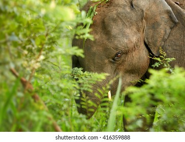 Close-up wildlife photo of  Sri Lankan Elephant, Elephas maximus, detail of head among green leaves in forest of UdaWalawe national park, Sri Lanka.
