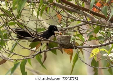 Close-up of Willy Wagtail (Rhipidura leucophrys) feeding its chicks  - native Australian bird