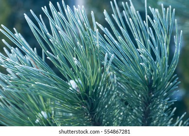 closeup to winter pine twig under frost