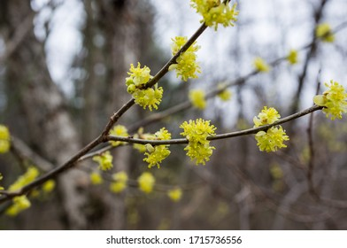 Closeup of witch hazel yellow wildflowers on brown branches in a forest