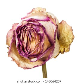 Closeup of withered and dried pink and yellow rose petals isolated on white