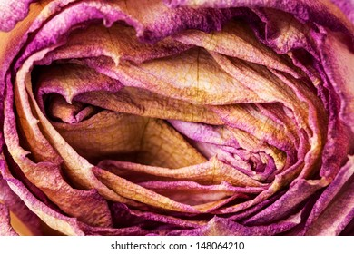 Closeup of withered and dried pink and yellow rose petals