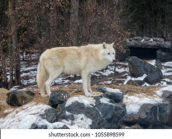 Closeup of wolf at international wolf center near den