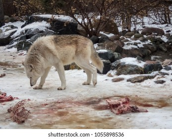 Closeup of Wolf sniffing ground close to meat at international wolf center with clean bones nearby