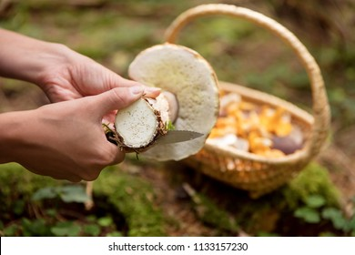 closeup, woman cleaning a boletus eduls, basket with wild mushrooms in the background