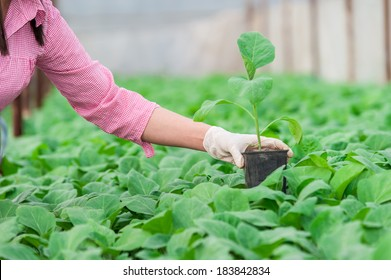 Closeup of woman hand with  gloves holding a pot with eggplant seedling in a greenhouse