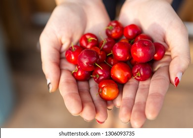 "Close-up of woman's hand full of fresh ""Acerola"" cherry fruits. The acerola juice contains 40 to 80 times more vitamin ""C"" than lemon or orange juice."