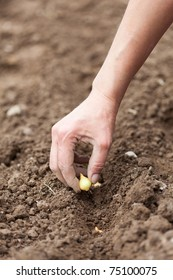 Closeup of a woman's hand planting shallot