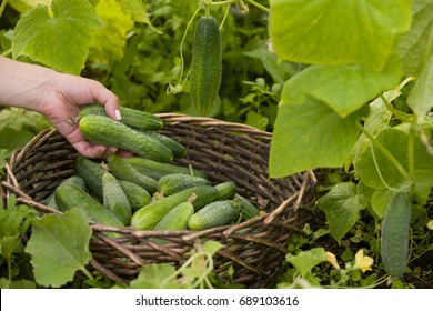 Closeup of woman's hands with basket picking up organic cucumbers in the greenhouse. Healthy eating. Gardening and agriculture concept.
