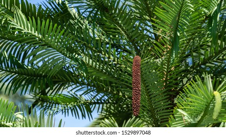 Close-up of wonderful leaves of Wollemi Pine - Ancient Wollemia nobilis tree in Aivazovsky park or Paradise park in Pertenit, Crimea. The unique tree of Jurassic period.
