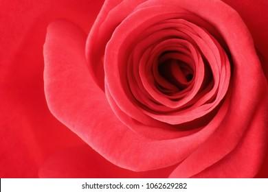 Closeup of a wonderful red rose (Rosaceae).