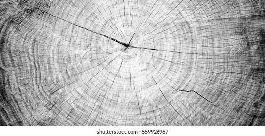 Close-up of wood annual rings. Black and white tree trunk cross section. Dark background in nature.