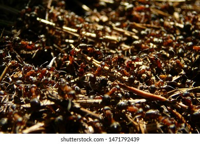 Close-up of wood ants. Multitude of red and black wood ants on forest floor.