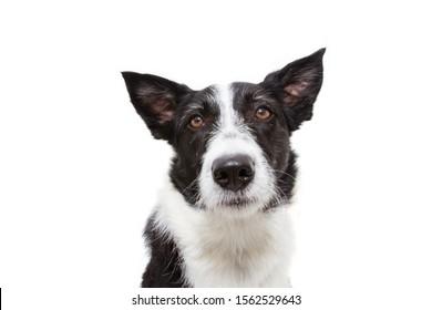 close-up worried or sad border collie dog. isolated on white background.