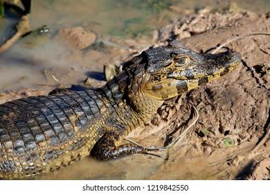 Close-up of a Yacare Caiman (Caiman yacare) Lying in Mud. Rio Claro, Pantanal, Brazil