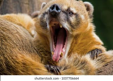Closeup of a yawning south american coati. (Nasua nasua) Also known as ring-tailed coati.