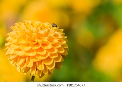 Close-up of a yellow Ball Dahlia on a sunny Day in the Summertime.